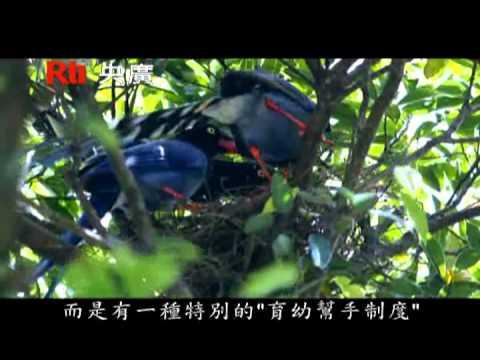 台灣藍鵲0929720480 - YouTube