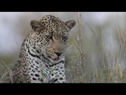 Makepisi – Male Leopard