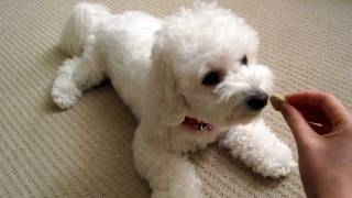 Bichon Short Training Session (Monchi)