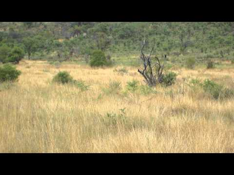 Three Lion – Pilanesberg National Park – South Africa – November 2011