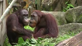 Macacos namorando.Beija e faz carinho!!