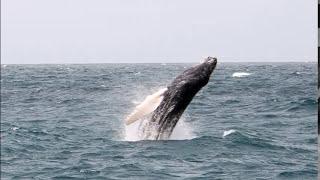 Whale Watching 2016 Boavista Cabo Verde