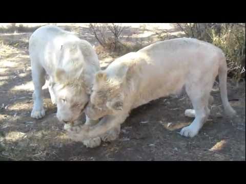 South Africa 2010 – White Lions Eating