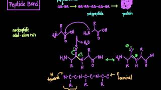 The Peptide Bond: Formation and Cleavage width=