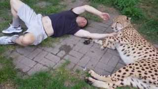 Spotti Plays with Live Cheetah
