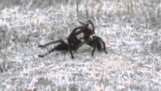 California Black Tarantula male and female mating in the Wild (not caged)