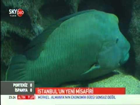 Avrupa'nın en büyük Napolyon Balığı Turkuazoo Akvaryum'da_Sky 360 TV