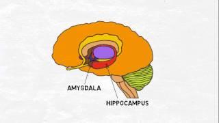 2-Minute Neuroscience: Limbic System