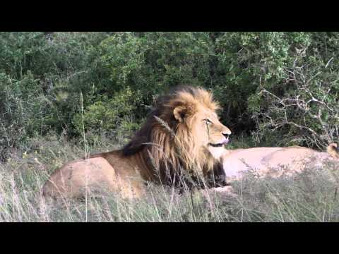Male lion stretching in Hlosi, Addo area