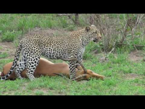 Leopard drags her Kill
