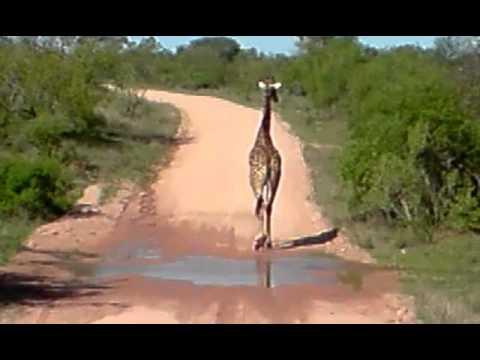 Safari na África do Sul – Kruger Park