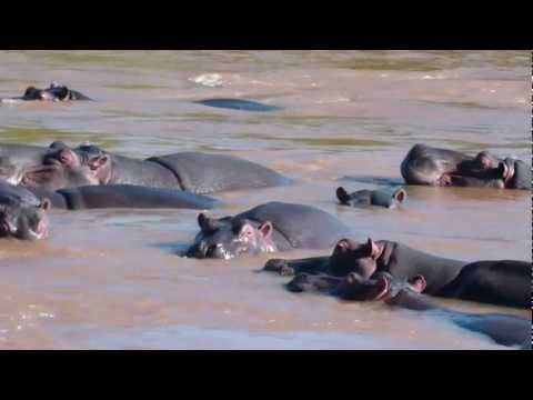 Hippos in the Olifants River, Kruger National Park, South Africa