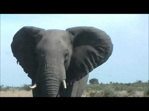 Elephant VS Car – Bushveld Safaris