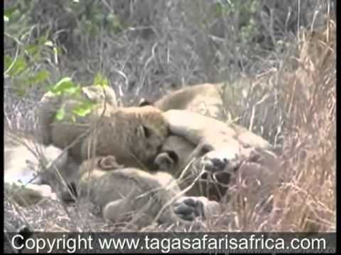 The Styx Lion Pride and cubs