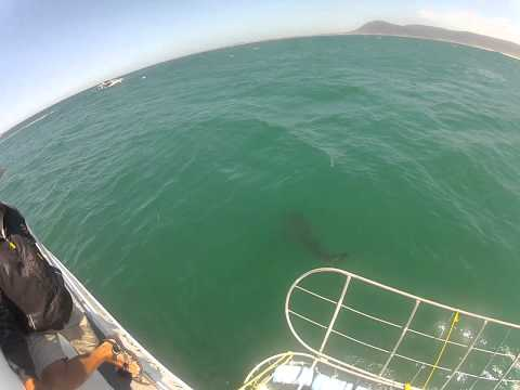 White Shark Viewing, South Africa