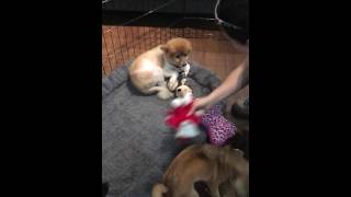 Sweet senior rescue pom treats stuffed toys as her babies
