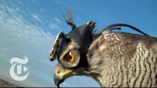 Hawk Cam Captures the Hunt | ScienceTake | The New York Times