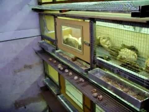 el yapımı bıldırcın kafesi quail  鹌鹑 Wachtel quail