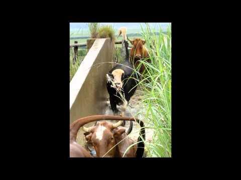 Cattle Dip