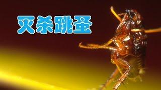 如何快速有效杀灭跳蚤?|居家除虫/Kill fleas