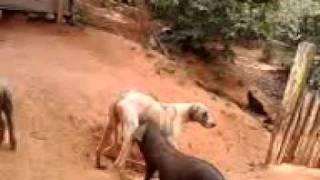 O cão e a Porca