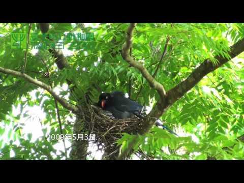 臺北市立動物園_台灣藍鵲_藍鵲育雛 - YouTube