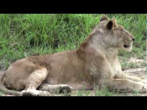 Lioness, her 2 cubs & the Pride of Lions. Sabi Sabi,South Africa, Dec 2012