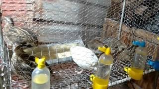 Minha primeira criação de codorna/ 2 ovos no dia