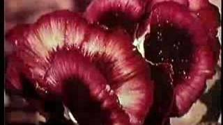 SKYLARK (DAVID FOSTER) WILDFLOWER