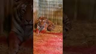 Cuccioli di tigre allo zoo safari di Ravenna