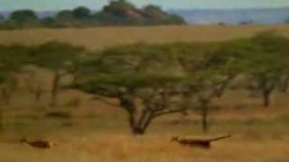 Man saves gazelle from cheetah