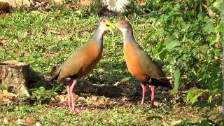 O canto em dueto da saracura três potes, Aramides cajaneus,