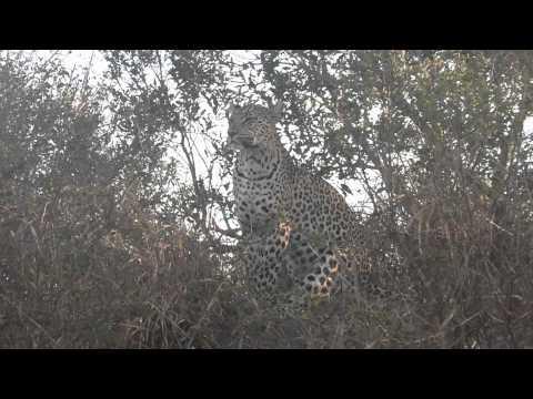 Leopard on Safari