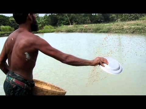 fish-breeding bangladesh rana ラナ 3 バングラデシュのナマズ養殖池
