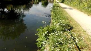 Carp in the River Lea