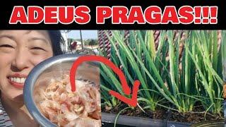 DÊ UM FIM NELAS!!! (lagartas,larvas, formigas, grilos, insetos) SOMEM TUDO!!!! IMPRESSIONANTE?