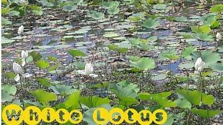 Beautiful flowers:-(White Lotus),........... .