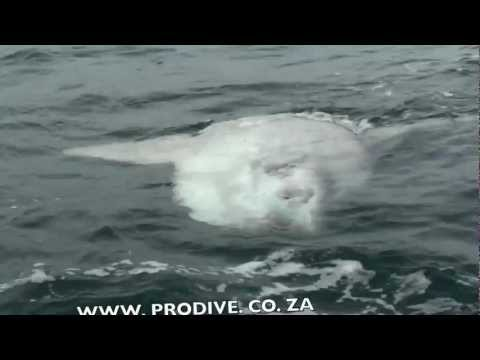 Sardine Run South Africa Update – Port Elizabeth 25 May 2012