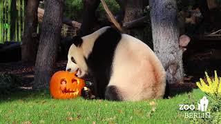 Happy Panda Halloween
