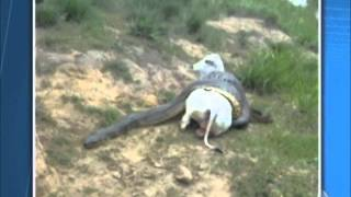 Fazendeiro flagra bezerra sendo atacada por sucuri em Serrinha BA