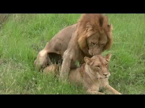 Lions Mating (Twice – Watch to the end!): Sex Education Lesson from Mala Mala, South Africa