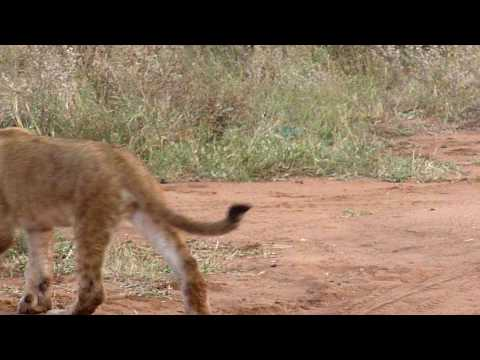 Lion cub and dog