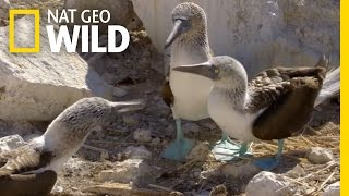 The Blue-Footed Booby Dance | Destination WILD
