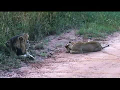 Travel – Mar 2010 – Lions in Kruger National Park in So. Africa – Carl W. Farley