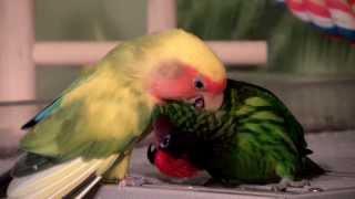 Kiwi the Lorikeet and Paradise the Lovebird