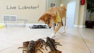 When a Shiba Inu meets a LIVE Lobster... | Taste It Tuesday