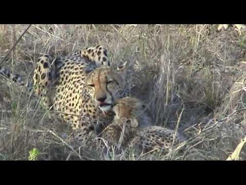 Cheetah with cubs – Thornybush Game Reserve, South Africa