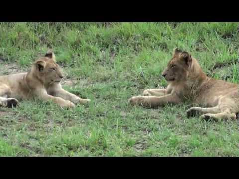 Encounter of Hyena & Pride of Lions, Sabi Sabi, South Africa Dec 2012