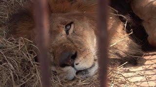 Leões de circo do Peru e da Colômbia vão para a África
