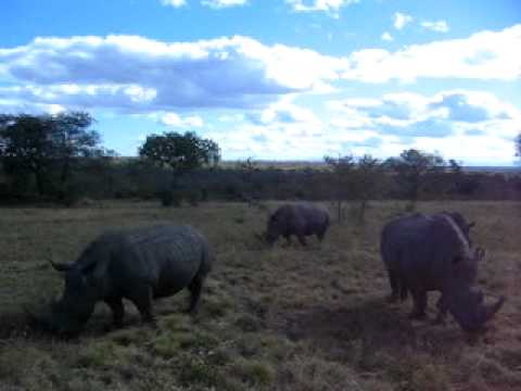 White Rhinoceros in Sabi Sabi Private Game Reserve, next to Kruger National Park in South Africa